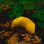 Banana slug Photo by Max Gotts on Unsplash