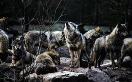 The silent howl: Government programs have killed over 22,000 wolves