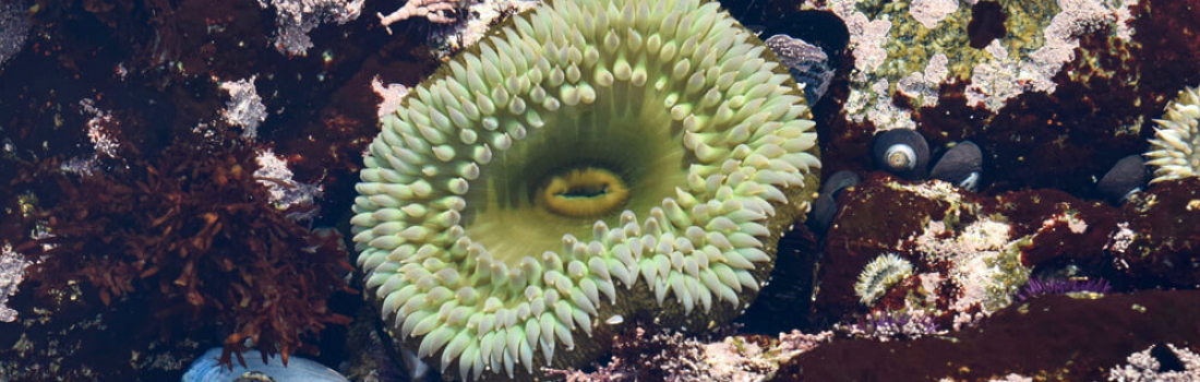 Sea Anemones not as innocent as they appear