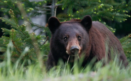 On bears: B.C.'s unique landscape highlights diversity of bear species