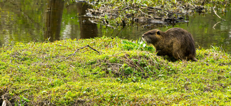 Protecting wetlands with beavers