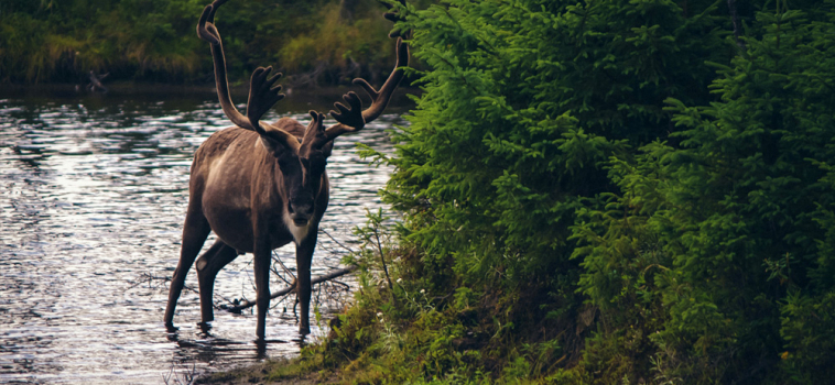 Analysis: study on caribou misinterprets cause, confuses zoos with wildlife recovery