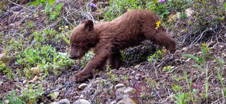 The state-sponsored killing of cubs must stop: responsibility is a two-way street