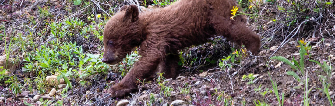 Your concern over BC's bears