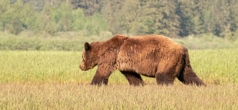 A victory for the grizzlies of British Columbia
