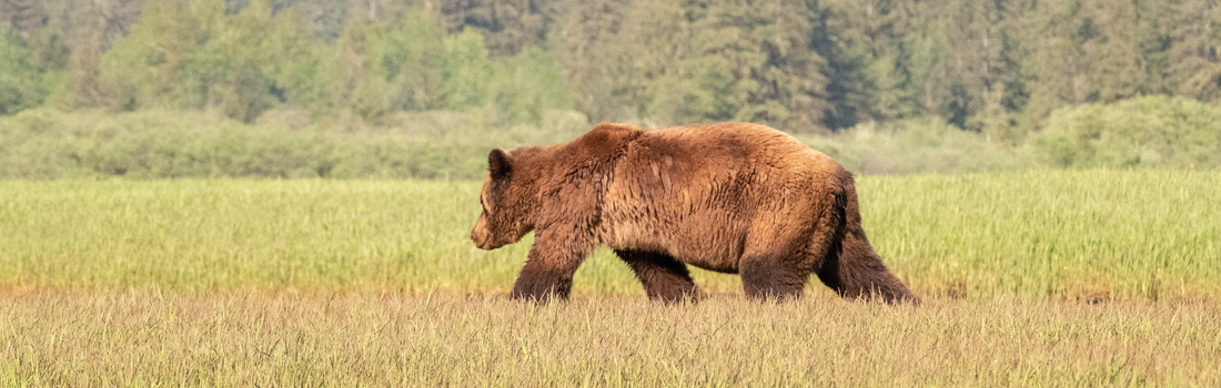 NEWS RELEASE – Casavant calls for stop to grizzly trophy hunt before season begins April 1