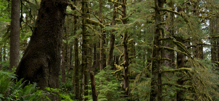 As giants fall: Protecting the dens of BC's coastal bears and beyond